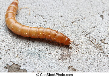 Mealworm - Macro photo of a Mealworm crawling on the ground