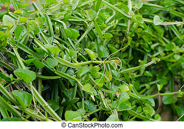 Cissus quadrangularis L. (The plant is a herb used for the...
