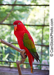 Chattering lory - a red parrot with green wings - Chattering...