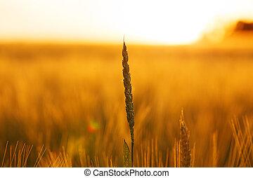 Ear of wheat in a field