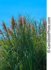 Pampas grass, Cortaderia selloana, Gramineae, South America...