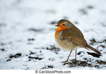 Cute robin on snow in winter