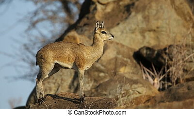 Klipspringer antelope on rock - A small klipspringer...