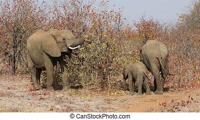 Feeding African elephants - African elephants Loxodonta...