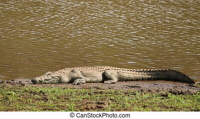 Nile crocodile basking - A Nile crocodile (Crocodylus...