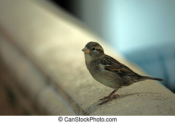 Little sparrow resting
