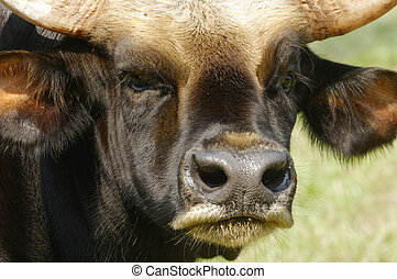 Malayan Gaur - Close up of Male Malayan Gaur head