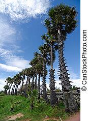 Rows of palm trees  at Promthep Cape, Phuket, Thailand