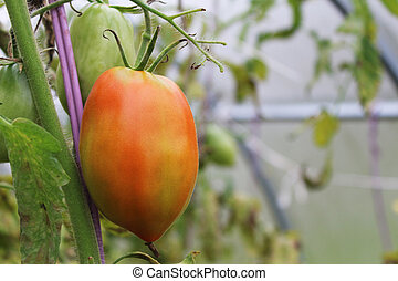 Underripe red tomato in the greenhouse in the summer