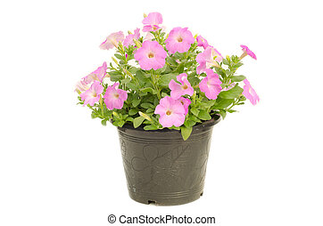 petunia in pot isolated on white background