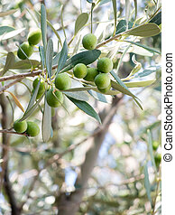 bunch of olives on twigs