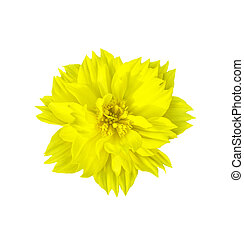Yellow flower isolated on white with clipping path