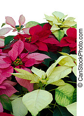poinsettia,xmas,christmas, white background, isolated,...