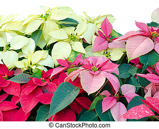 Christmas or Poinsettia isolated white background