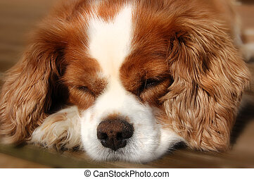 Sleeping Cavalier King Charles Span