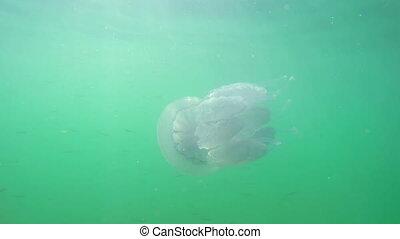 A Flock of Fry Near Jellyfish Against the Sun's Rays. Medium...