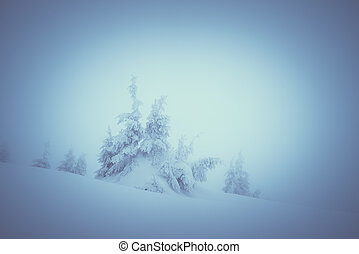 Spruce forest in the fog - Winter landscape with spruce...