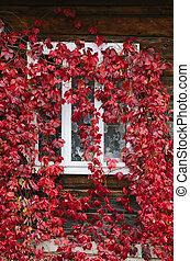Red autumn leaves on the windows - Red leaves of wild grapes...
