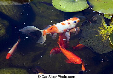 Golden fish in the garden pond - Lots of golden fish in the...