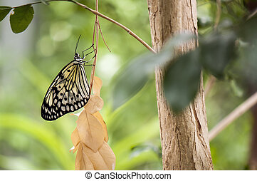 Rice paper butterfly perching on tree - Detail of large tree...