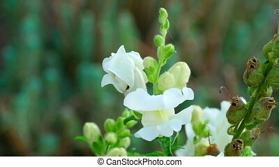 Bumblebee on a flower snapdragon - Bumblebee collects nectar...