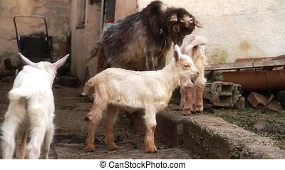 White goat in the farm