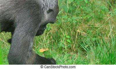 Gorilla picks and eats green grass