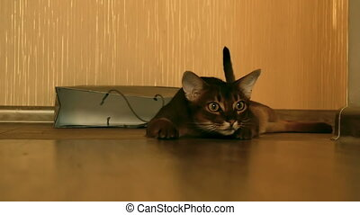 Abyssinian cat playing with a ball, slow motion