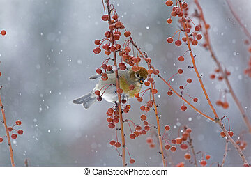 Female Pine Grosbeak, Crabapples