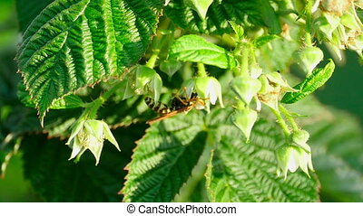 Wasp on a flower raspberry - Wasp collects nectar on a...