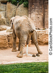 Elephant pooping