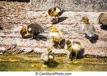 Ducklings.,