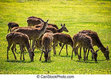 Deers eating.
