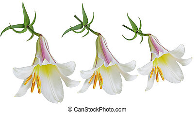 Lilium Flowers - Three Lilium lilies flowers isolated on...