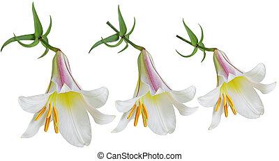 Lilium, flores,