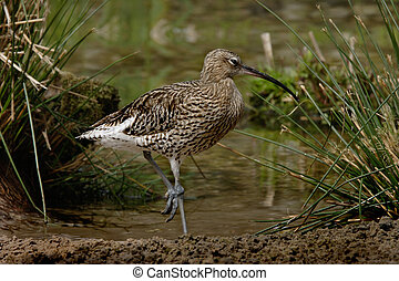 Curlew - A Curlew by water in Norfolk England.