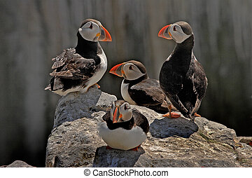 Four Puffins - A group of Puffins together on the rocks at...