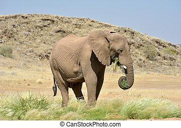African Bush Elephants - African bush elephants Loxodonta...