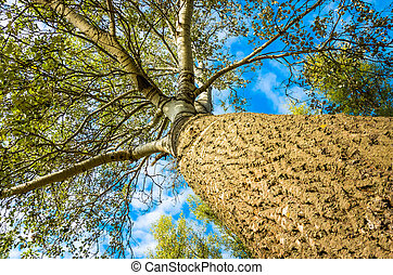 Trunk and branches of a poplar tree in summer