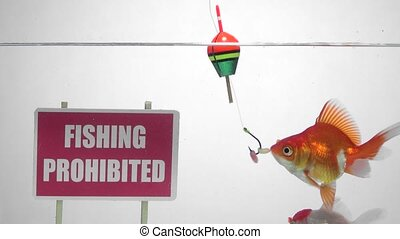 Goldfish and Fishing prohibited - Fish eat the bait of a...