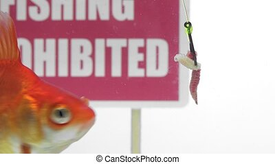 Goldfish eating bait - Fish eat the bait of a large hook,...
