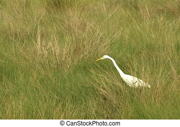 Common Egret - White Egret walks through marsh grass eating...