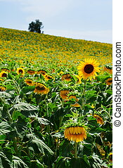 Sunflower cultivation - Hillside full of sunlowers with far...