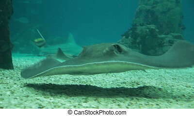 Stingray swims in the water.