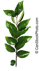 Curry leaves - Green curry leaves, used in Indian and Asian...
