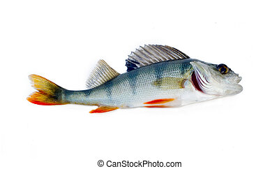 perch on a white background - perch one fish isolated on...