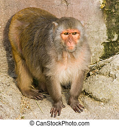 Rhesus monkey - square image - Rhesus monkey standing and...
