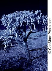 Moonlight Cholla - Moonlight cholla cactus in the winter...