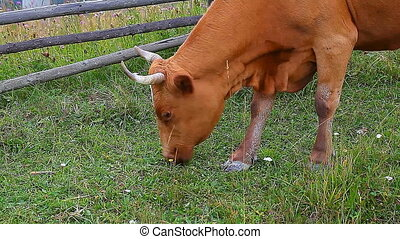 cow eating grass on a meadow