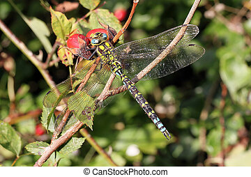 Dragonfly resting with its wings spread - Close-up, macro...